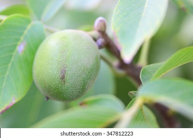 green walnut on tree for healthy nutrition