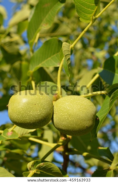 Green Walnut Tree Fruits Hanging Leaves Stock Photo (Edit