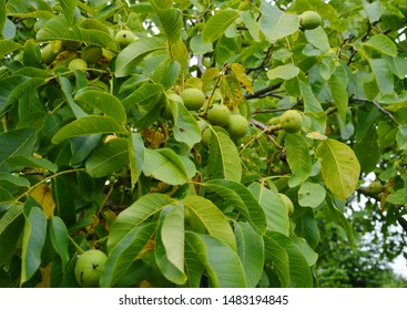 green walnuts growing on a tree outdoors in a orchard