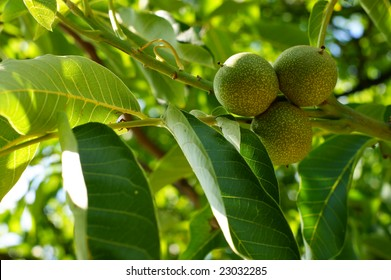 Green walnuts growing on a tree, close up