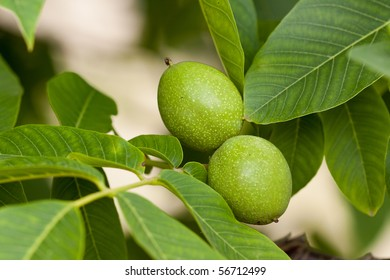 Green walnuts growing on a tree