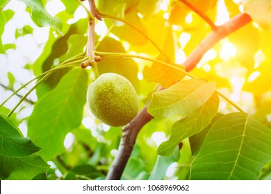 Green walnuts ripen, on branch of tree with green leaves close-up with rays of bright sun. Concept of growing