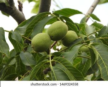 green walnuts in a walnut tree