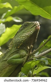 The Green Water Dragon (Physignathus cocincinus) is a lizard of the family of Agamas (Agamidae)