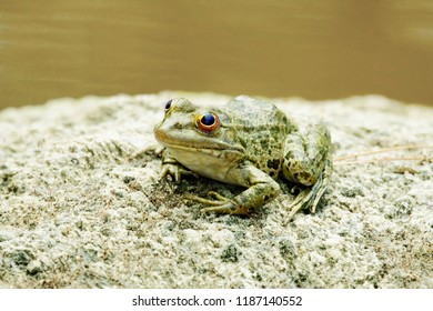 A green water frog is sitting on a rock