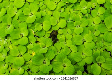 Green Water Lettuce (Pistia stratiotes) in water pool