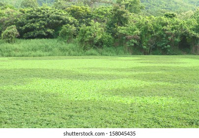 Green water plant field on small lake