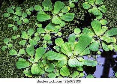 Green water plants in the shape of circles. Natural background.