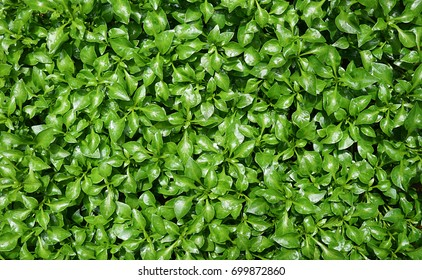 Green watercress wet leaves after watering, Fresh organic plant vegetables, Top view pattern background