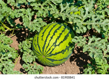 Green water-melons lay on the ground at a melon field