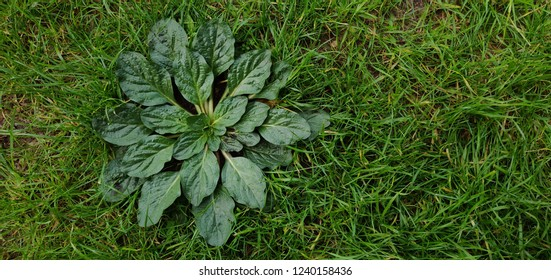 Green weed on garden grass.