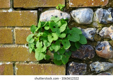Green weeds emerging between an ageing flint wall which is interlocking with a modern red brick wall.