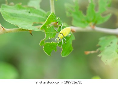 Green weevil or snout that breed on jujube trees. Green weevil or snout weevil Leaf-eating insect pests, outbreaks and methods of elimination. Insects eating the leaves. scarab