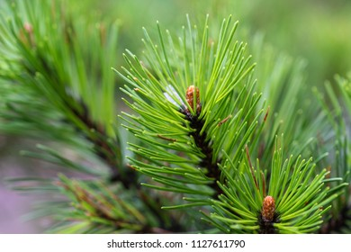 Green wet fresh shoots of a decorative pine tree just after the rain. Closeup view.