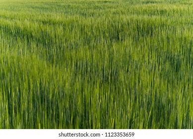 Green wheat barley field growing agriculture rural organic crop