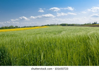Green wheat and blue sky with clouds