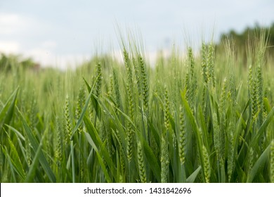 Green wheat ear spikes close up