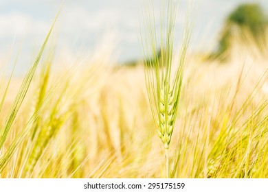 Green wheat ears on the field closeup. Golden wheat with bokeh blur. Organic farmland - cereal plants at sunset in soft focus.