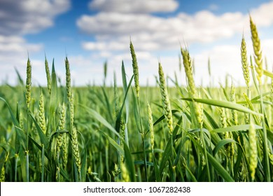 Green wheat ears ripen against blue sky with white clouds in the early summer morning. Background of wheat. Rural landscape of wheat green field