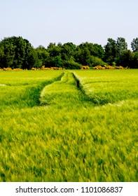 Green wheat farmland, Danish farm landscape