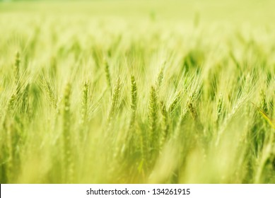 Green wheat field bathing in sunlight with shallow depth of field