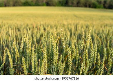 Green wheat field in countryside, close up. Field of wheat blowing in the wind at sunny spring day. Young and green Spikelets. Ears of barley crop in nature. Agronomy, industry and food production.