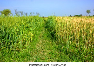 Green wheat field countryside near Lahore district .