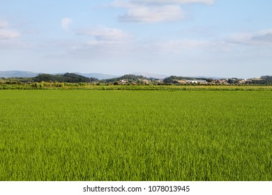Green wheat field during spring on Portugal