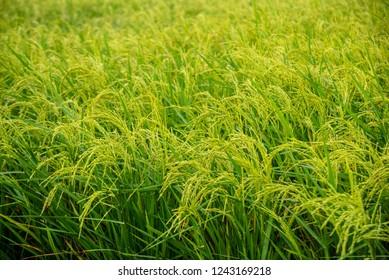 green wheat field of grass
