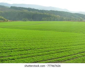 Green wheat field with mountain background in Furano Hokkaido Japan