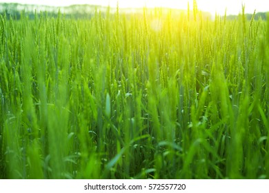 Green wheat in the field. Nature background.