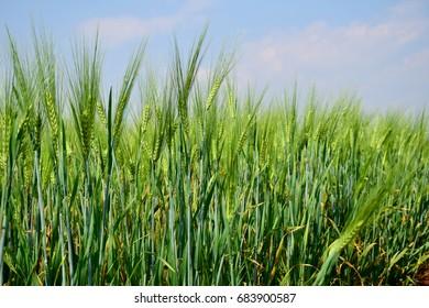 green wheat field on blue sky