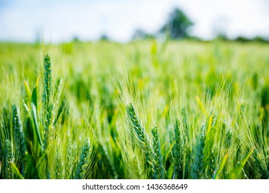 Green wheat field on a sunny day. UK agriculture Background.