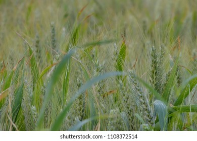 Green wheat field in spring time, blur background