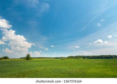Green wheat field st sunny summer day.