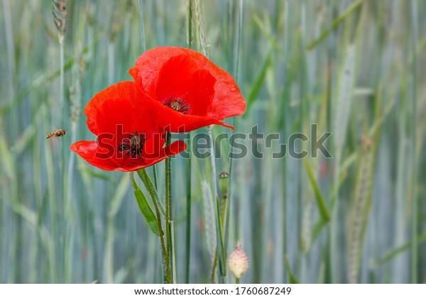 In a green wheat field, two flowers of the fiery red poppy glow like a lantern.