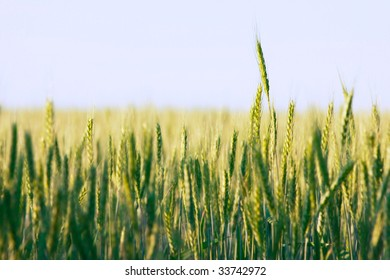 green wheat field, very shallow DOF