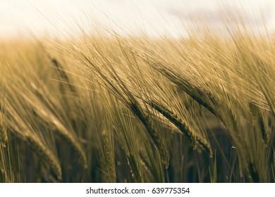 Green wheat field, windy day