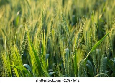 Green wheat filed.