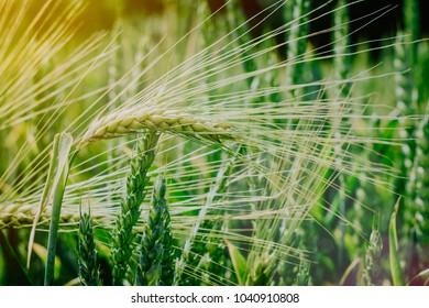 Green wheat filed in evening sun light