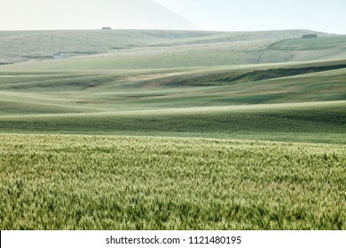 Green wheat in a growing in a farm field during a gentle Idaho rain storm.