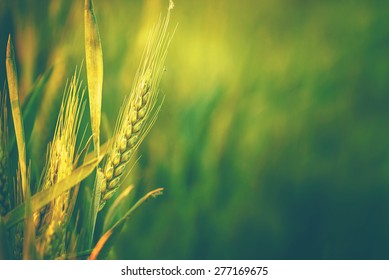 Green Wheat Head in Cultivated Agricultural Field, Early Stage of Farming Plant Development, Retro Toned Image with Selective Focus with Shallow Depth of Field