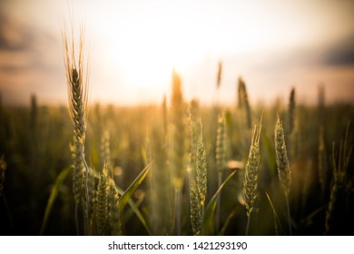 Green wheat on a field at sunset, with shallow depth of field.