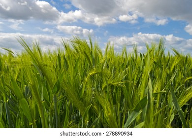 Green wheat on a sunny field in spring