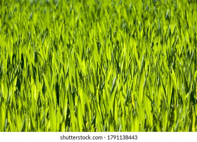 green wheat or other cereals on agricultural land, farming for yield and profit, brightly lit wheat cereals from behind by sunlight