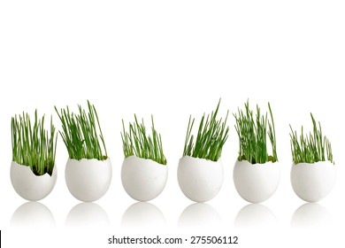 green wheat sprouts in egg on white background