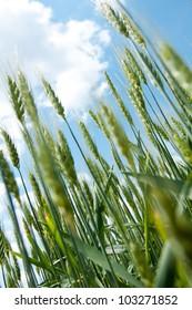 Green wheat and sun.