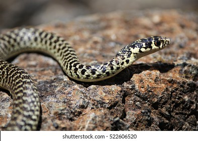 Green whip snake or western whip snake (Hierophis viridiflavus) close-up, macro portrait on a rock. Val Gargassa. Liguria. Italy.