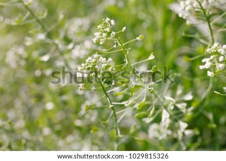 Green white flower weed grass shepherds stock photo edit now green white flower weed grass shepherds purse capsella bursa pastoris capsella flower mightylinksfo