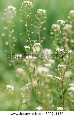 Green white flower weed grass shepherds stock photo edit now green white flower weed grass shepherds purse capsella bursa pastoris as background image mightylinksfo
